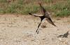 Scissor-tailed Flycatcher (Tyrannus forficatus) #2 Location - Cedar Park, Texas.