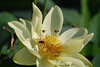 Bee Patrol: Bees mine and transport golden pollen from a water lily blossom.  Location: Old City Lake, Ennis, Texas.