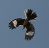 Northern Mockingbird (Mimus polyglottos) #1: Location - Location: Old City Lake, Ennis, Texas.