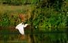Cattle Egret (Bubulcus ibis) taking off: Location: Old City Lake, Ennis, Texas.