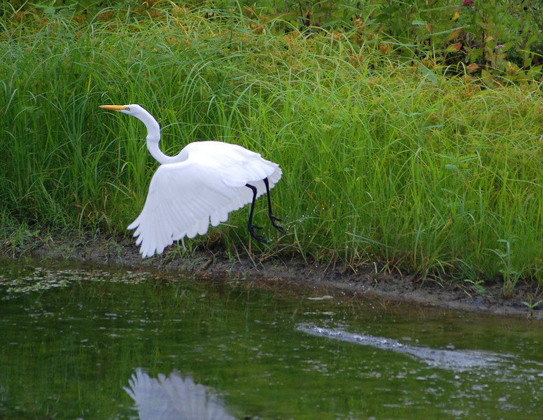 Launch of the Great Egret (Ardea alba) #1: Location: Old City Lake, Ennis, Texas.