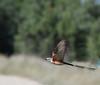 Scissor-tailed Flycatcher (Tyrannus forficatus) #1 Location - Cedar Park, Texas.