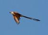Scissor-tailed Flycatcher (Tyrannus forficatus) #4: Location - Old City Lake, Ennis, Texas.