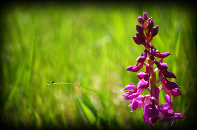 Early Purple Orchid (and bug)