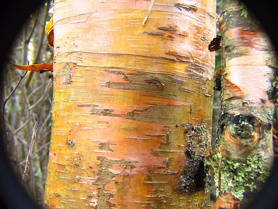 BIRCH TREE'S BARK AS I HAVE NEVER SEEN BEFORE