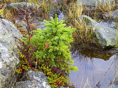 CONTRASTING COLORS... CRANBERRY PLANTS AROUND SPRUCE TREE