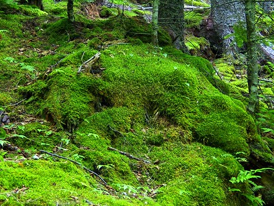 A FOREST FLOOR COVERED WITH HIGHLY SEEN GREEN MOSS