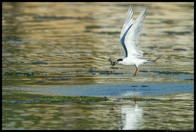Juvenile Forster Tern apparently has gotten the hang of spear fishing.