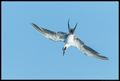Head on a swivel, this Forster's Tern kept the eyes on the prize during the aerial contortions.