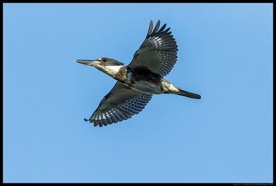 Another Female Belted Kingfisher flew by just before sunset.