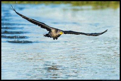 Double Crested Cormorant on takeoff.