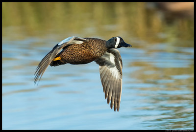 Male Blue Winged Teal fly-by.