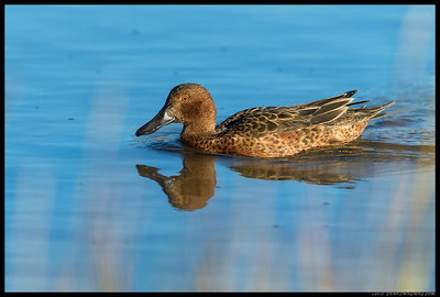 Cinnamon Teal cruising through the slough.
