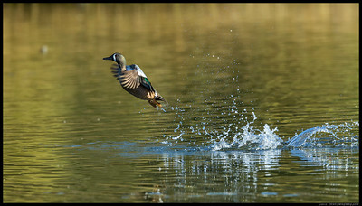 Teal don't usually run for a takeoff but burst explosively from the water.