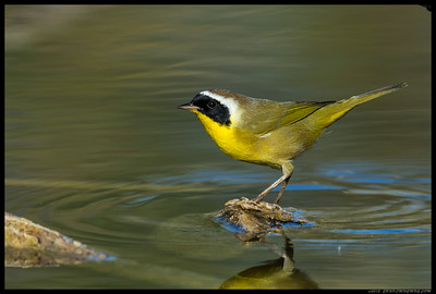 Common Yellowthroat actually paused for a moment before hopping to the next perch.