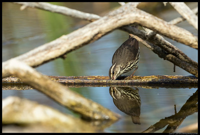 Northern Waterthrush removing what appeared to be a small snail from between two fallen limbs.