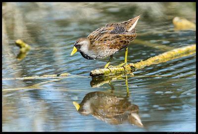 One of the Sora's making its way across the small body of water on the partly submerged branches.