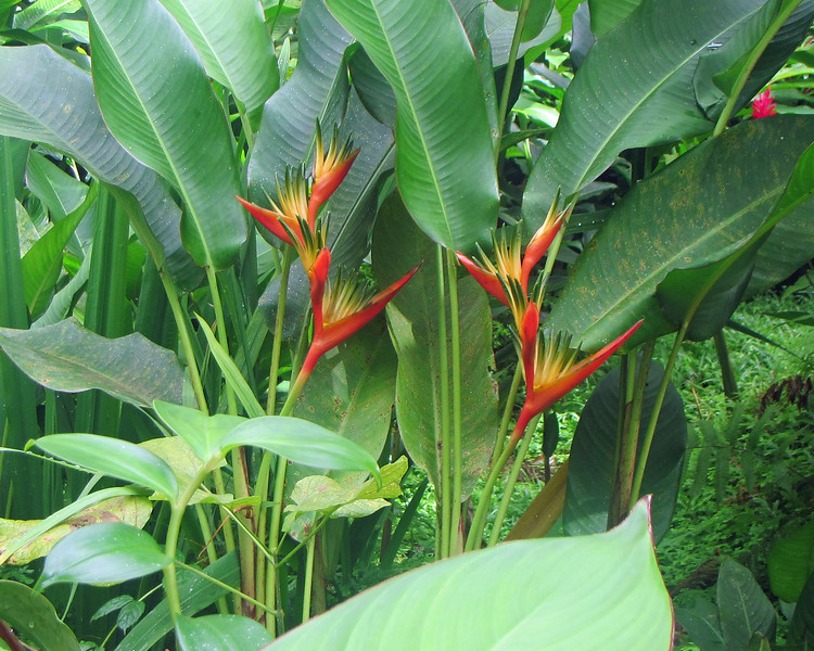 2017_ heliconia_ Montreal Garden_ St Vincent_IMG_1374