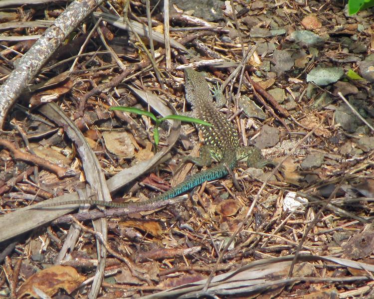 2017_ giant ameiva lizard_ Tobago Cays_ Grenadines_IMG_1591