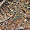 2017_ giant ameiva lizard_ Tobago Cays_ Grenadines_IMG_1591