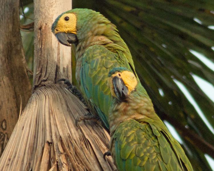 2017_ red-bellied macaw_ old air strip_Trinidad_TMAC_IMG_5556