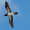 2017_ brown booby_ Grenadines at sea_IMG_8699