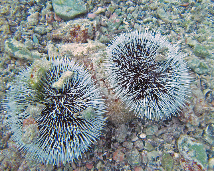 2017_ west indian sea egg urchin_ Tobago Cays_ Grenadines_IMG_1503 col_cor
