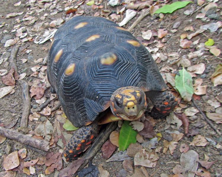 2017_ red-toed tortoise_ Tobago Cays_ Grenadines_IMG_1490