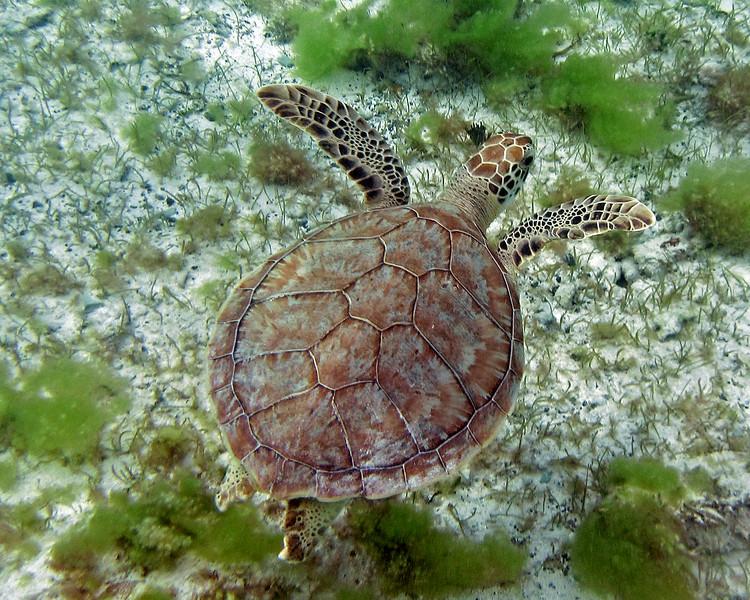 2017_hawksbill turtle_Tobago Cays_Grenadines_Jan_IMG_1499 col_cor