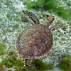 2017_hawksbill turtle_Tobago Cays_Grenadines_Jan_IMG_1499 col_cor
