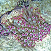 2017_ giant anemone_Tobabo Cays_ Grenadines_IMG_1611 col_cor