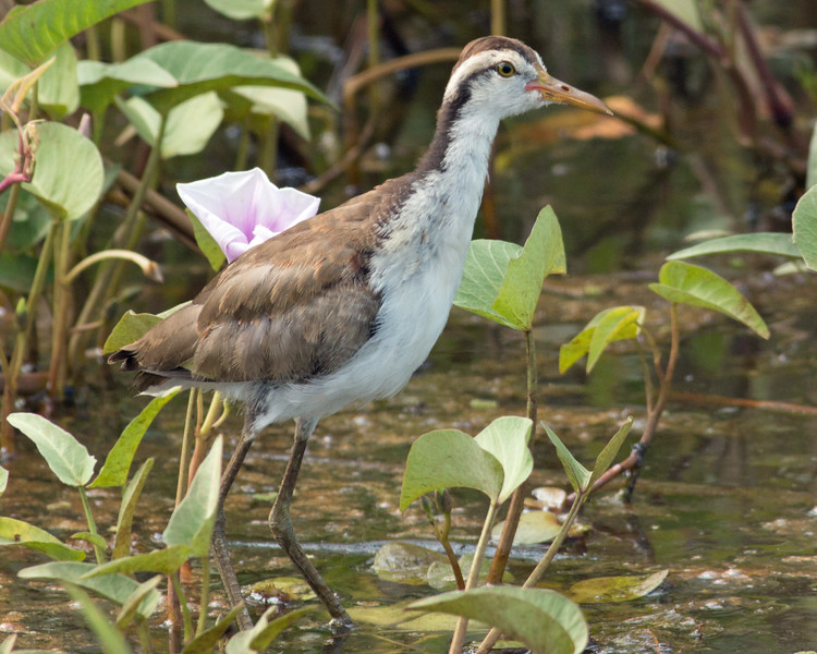 2017_wattled jacana juvenile_Nariva Swamp_Trinidad_NJAC_IMG_5438