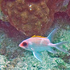 2107_ squirrelfish_ Tobago Cays_ Grenadines_IMG_1621 col_cor