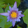 2017_ water lily_ St Vincent Botanical Garden_IMG_8564