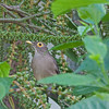 2017_ bared-eyed thrush_ St Vincent_IMG_8639