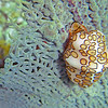 2017_ flamingo tongue_ Bequia_Grenadines_IMG_1860 col_cor