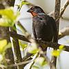 2017_ lesser antillean bullfinch_St Vincent Botanical Garden_IMG_5623