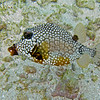 2017_ smooth trunkfish_ Togabo Cays_ Grenadines_IMG_1515 col_cor