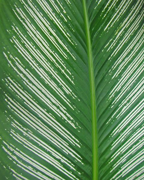 2017_ calathea leaf detail_ Montreal Garden_ St Vincent_Jan_IMG_1356