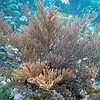 2017_soft coral_ Grenadines_IMG_1660 col_cor