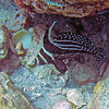 2017_ spotted drum_ Bequia_Grenadines_IMG_1844 col_cor