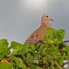 2017_ eared dove_ St Vincent Botanical Garden_IMG_8590