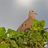 2017_ eared dove_ St Vincent Botanical Garden_IMG_8590