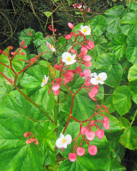 2017_ native pink begonia_ Montreal Gardens_ St Vincent_IMG_1346