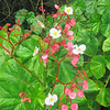 2017_ native pink begonia_ Montreal Gardens_ St Vincent_IMG_1346