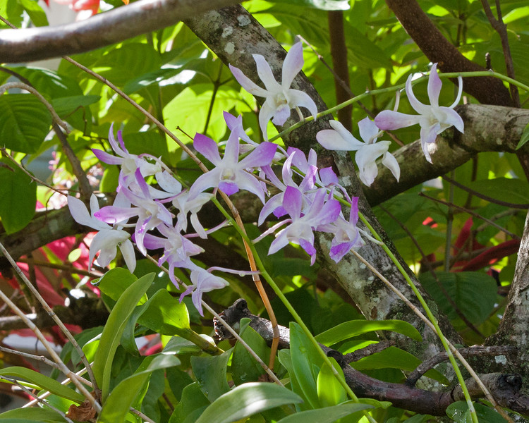 2017_ garden orchid_ St Vincent_IMG_8625