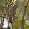 2017_ yellow-bellied elaenia_ St Vincent Botanical Garden_SVG_IMG_5649