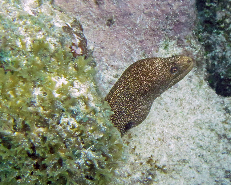 2017_ goldentail moral eel_ Tobago Cays_ Grenadines_IMG_1531 col_cor