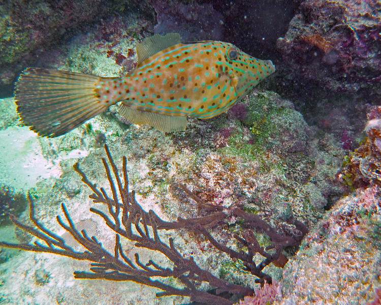 2017_ scrawled filefish_ Tobago Cays_ Grenadines_IMG_1528 col_cor