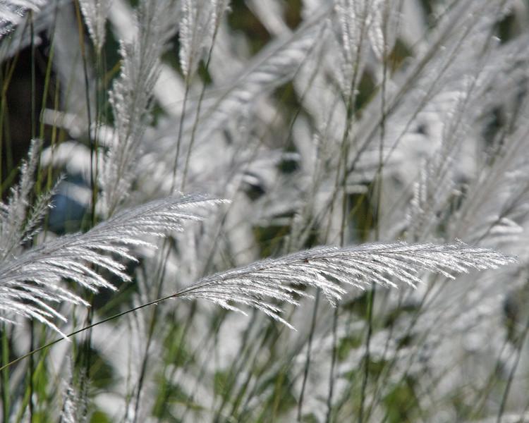 2017_ grasses at St Vincent Botanical Garden_IMG_8568